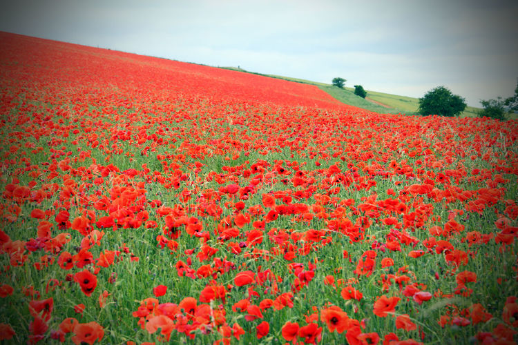 Agriculture Beauty In Nature Blooming Country Day Field Flower Flower Head Fragility Freshness Growth Landscape Nature No People Outdoors Plant Poppy Red Rural Scene Scenics Sky Tranquil Scene Tranquility