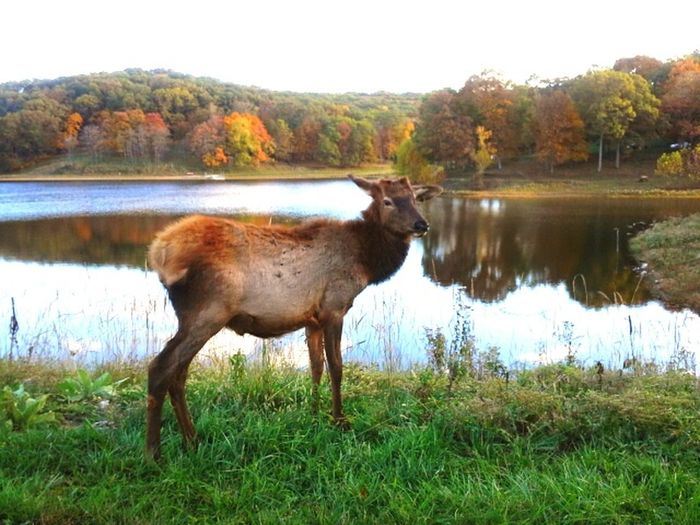 Nature Outdoors Elk Wildlife Lone Elk Park Missouri MidWest