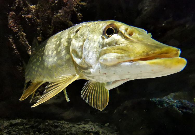 Monster freshwater 50 inch northern pike - esox lucius, wildlife animal, predator.