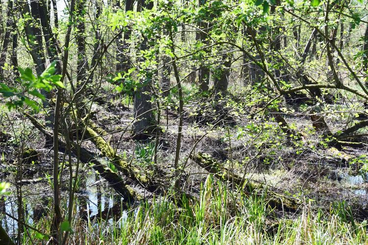 Der Kremmener See ist von Sumpf und feuchten Niederungen umgeben. Einen Rundweg gibt es deshalb nicht. Plant Tree Growth Forest Tranquility Land Beauty In Nature Nature No People Day Water Tranquil Scene Branch Outdoors Trunk Tree Trunk Green Color Scenics - Nature Non-urban Scene WoodLand Swamp
