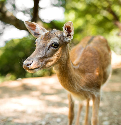 Close-up portrait of deer