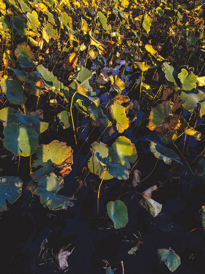 Close-up of yellow leaves floating on lake