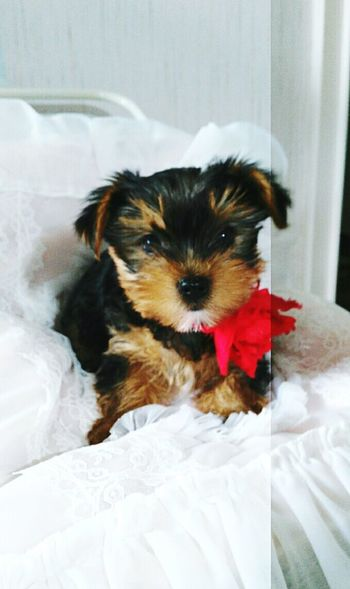 Dog Cute Roses Relaxing Taking Photos Enjoying Life Check This Out Puppy Yorkshire Terrier York Yorshire
