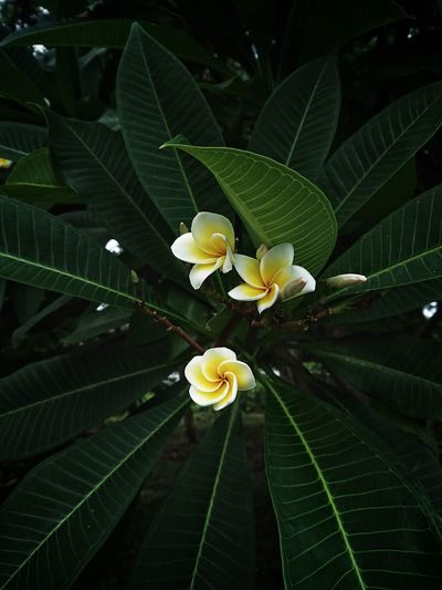 Close-up of frangipani on plant