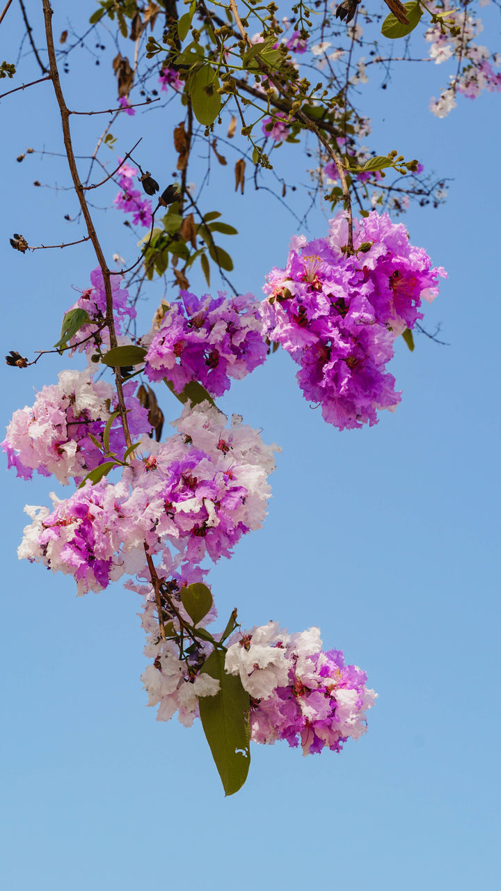 LOW ANGLE VIEW OF PINK CHERRY BLOSSOMS AGAINST CLEAR SKY