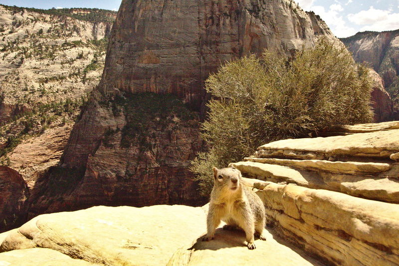 Squirrel Zion National Park Angels Landing Animal Themes Animal Wildlife Animals In The Wild Day Mountain Nature No People One Animal Outdoors Rock - Object Sitting Sunlight Tree