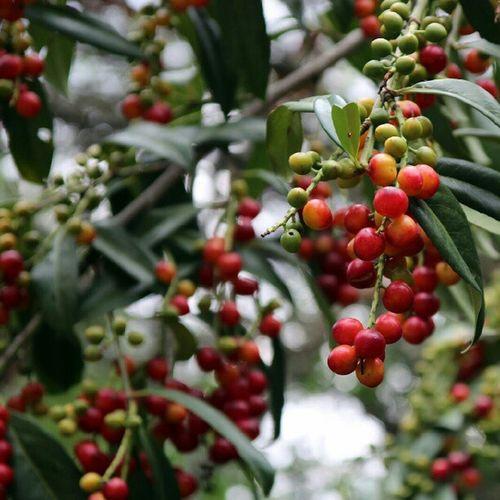 Karayemis Taflan Tree Karadeniz trabzon blacksea turkei turkey nature country