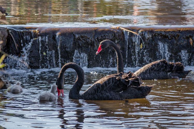 Swans swimming in lake