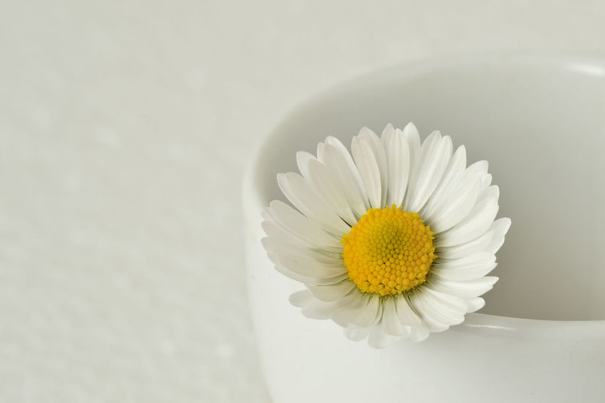 Beauty In Nature Close-up Daisy Delicacy Delicate Flower Flower Head Fragile Fragility Freshness Nature No People Petal Simplicity Spring Studio Shot White Yellow