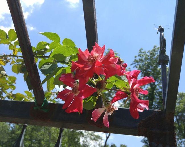 Rose garden in