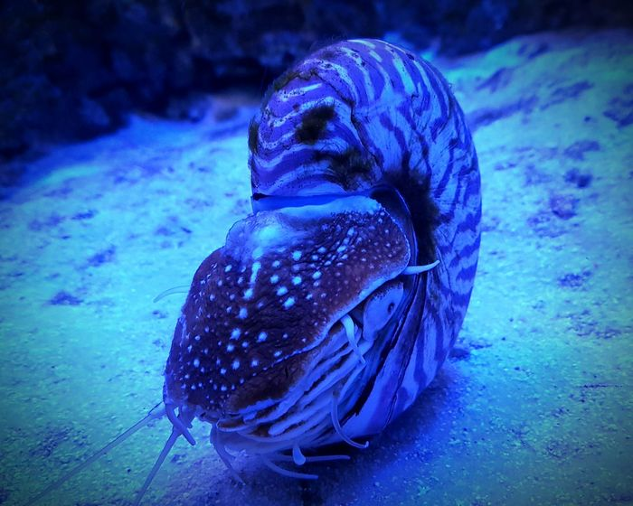 Water No People Animal Themes One Animal Nature Underwater Animal Wildlife Sea Life Beauty In Nature Nautilus Pompilius наутилус помпилиус наутилус Nautilus Shell Nautilus Aquarium UnderSea Sea Blue москвариум Mosqarium Aquarium Life Blue Blue Sea