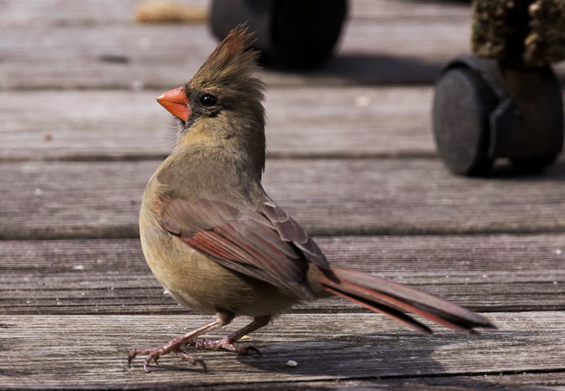 On deck Northern Cardinal Female Animal Themes Animal Wildlife Animals In The Wild Bird Close-up Day Deck Focus On Foreground Nature No People One Animal Outdoors Perching Wood - Material
