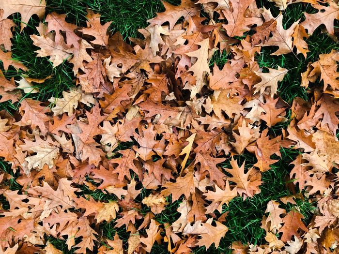 Full Frame Shot Of Fallen Maple Leaves