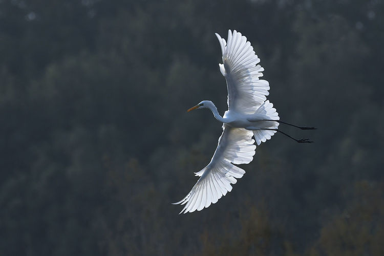 Low angle view of great egret flying against tree