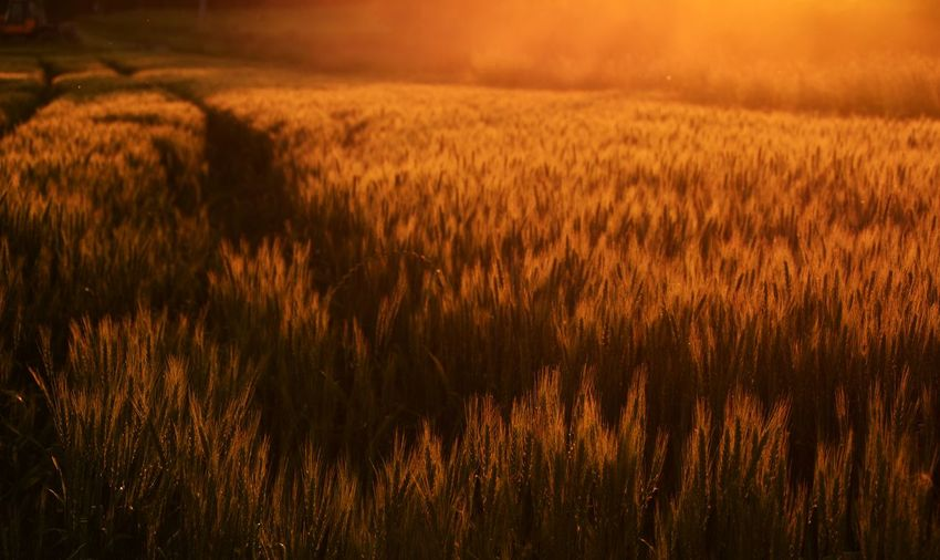 Scenic view of wheat crop