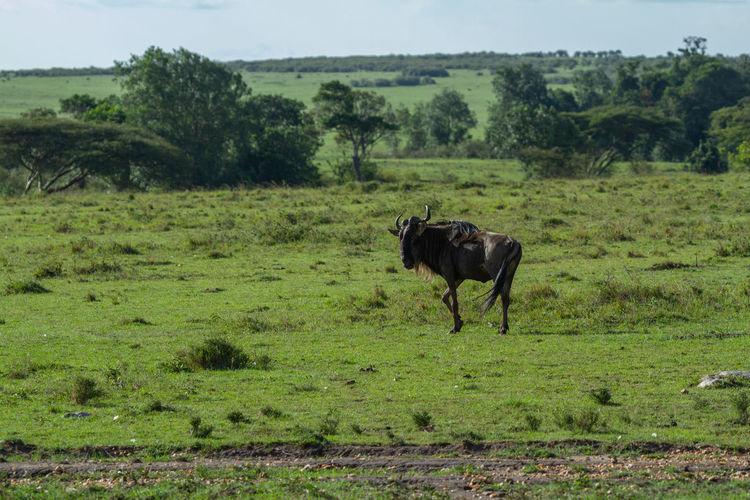 Profile of a wildebeest  in a field