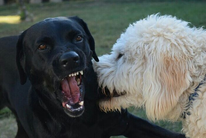 Bella, black lab and Mason, golden doodle, wrestling Capture The Moment Pets Corner Untold Stories