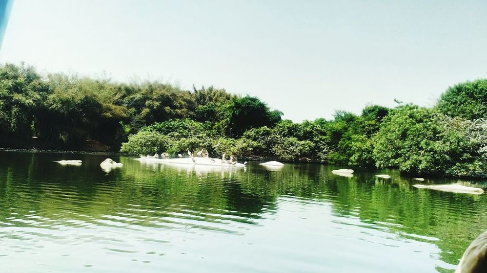 Water Tree Reflection Lake Outdoors Beauty In Nature Day Bird Sanctuary Tranquility No People Sky Nature Swimming Floating On Water Scenics Clear Sky