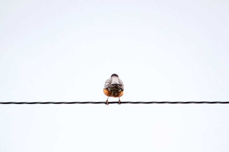 Animal Wildlife Animal Themes Animals In The Wild Animal Bird Perching One Animal Clear Sky No People Day Nature Power Line  Outdoors Robin