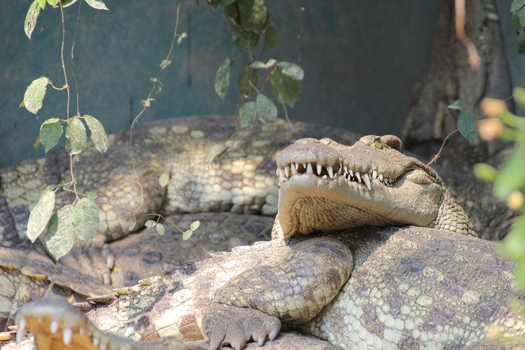 Close-up of crocodiles