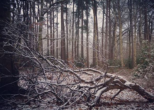 New photos of today's snapping in the snow now on my website at henrycatling.com/blog Snow Winter Forest Instagram Photography Nature Blog Gardener Surrey England Ig_captures Outdoors Chap  Britain Beauty Naturelovers Virginiawater Uk Instagood Ig_nature Earth Life Explore Weloveoutdoors Scene