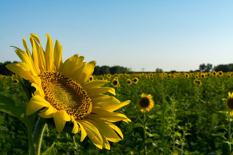 Close-up of fresh sunflower field against clear sky