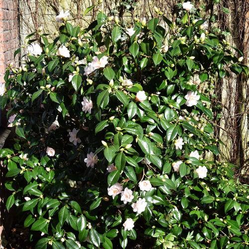 Camellia Bush Camellia Flowers Pink Flowers Flower Buds Green Leaves Bush Garden Plant Outdoors Nature Day Sunshine