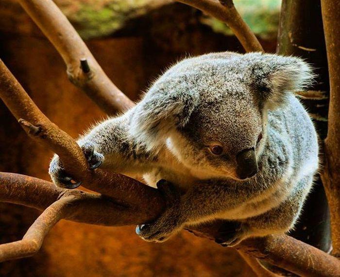 Just hanging Koalabear Koala Newcastle Newy Nature Mammal Animal Blackbutt Blackbuttreserve Blackbuttreservepark Igersnewy Newcastlensw Mynewcastle Nsw Australiagram Newcastlelifestyle Newcastlelife Visitnewcastle