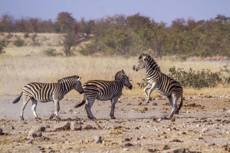 Zebras on land
