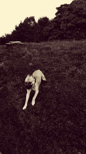 Dog Pets Outdoors Day Domestic Animals Animal Themes Nature Mammal Bullmastiff Big Dogs Beautiful Dog Running