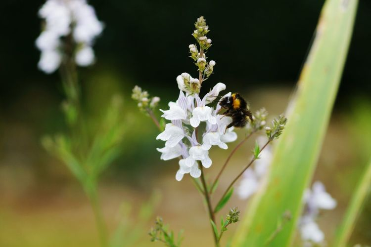 High angle view of bumblebee on white flowers