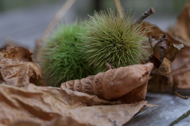 Close-up of chestnuts