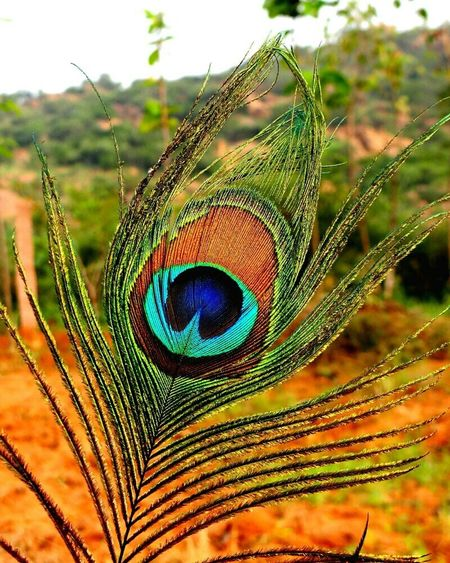 Peacock Peacock Blue Peacockporn Peacockbutterfly Peacock Colors Peacock Feather Peacock Art Check This Out Hello World Enjoying Life EyeEm Best Shots Taking Photos Love Morocco Marrakech Hello World That's Me Young Wild & Free