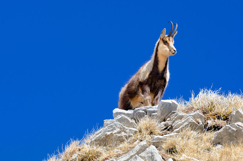 Low angle view of chamois on rock against blue sky