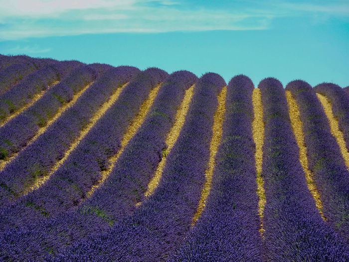 Agriculture Beauty In Nature Blue Sky Day EyeEm Nature Lover Field Grass In A Row Landscape Lavender Nature No People Outdoors Purple Purple Flower