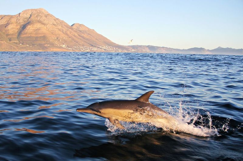 A common dolphin jumping from the surface of the water
