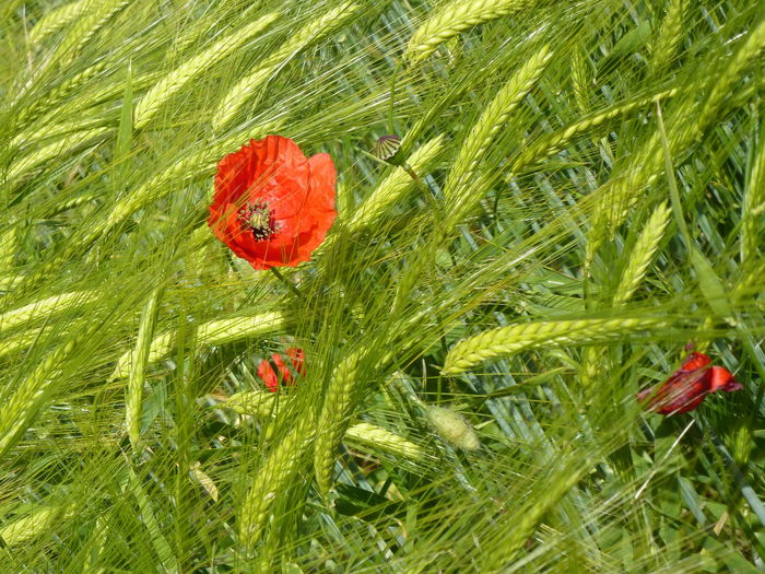 Beauty In Nature Flower Grass Green Color Growth Nature Plant Poppy Red