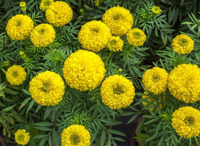 Marigold flower eyeem yellow marigold flowers marigold flower agriculture backgrounds beauty in nature blooming botanic flora floral florist flower mightylinksfo