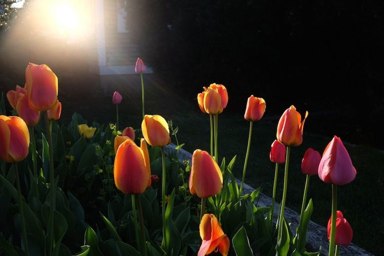 Tulips in the late afternoon sunlight. Spring Flowers Fuji X100s Mdavidleeds Photos
