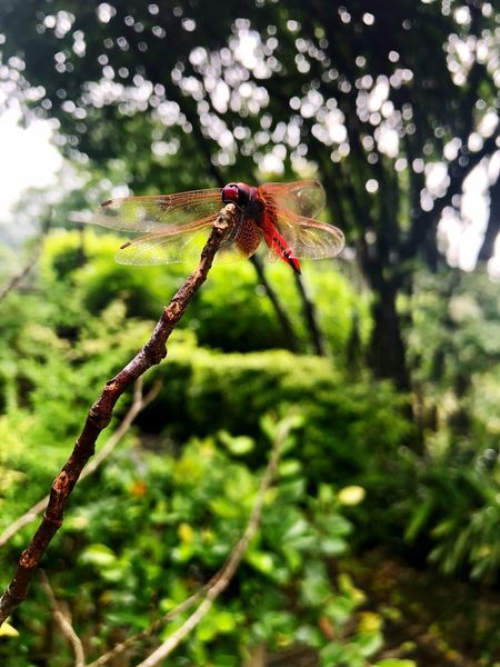 Dragonfly Botanical Garden Travel Destinations HongKong Insect Invertebrate Plant Focus On Foreground One Animal Animal Themes Animals In The Wild Animal Wildlife Animal Close-up Nature No People Day Green Color Tree Outdoors Beauty In Nature Dragonfly Animal Wing