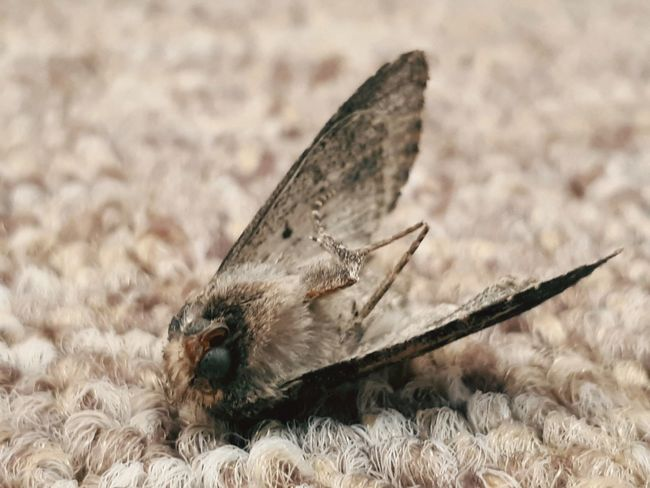 Dead moth Indoors  Death Dead Sad Dead Animal Insect Insects  Moth Insecto Polilla Mariposa Muerte One Animal No People Insect Butterfly - Insect Close-up
