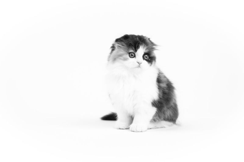 Scottish Fold kitten on white studio background Animal Themes Full Length Indoors  White Background Sitting Studio Shot Pets Animal Small Domestic Cat Cat Looking At Camera No People Copy Space Domestic Animals Cute Portrait Domestic Close-up Scottish Fold Scottish Fold Kitten Kitten Black And White