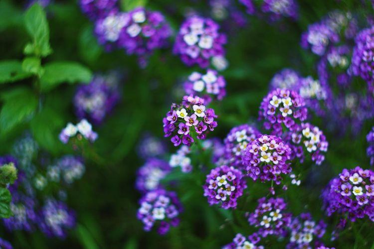 Close-Up Of Purple Lantana Camara Growing On Plant At Field