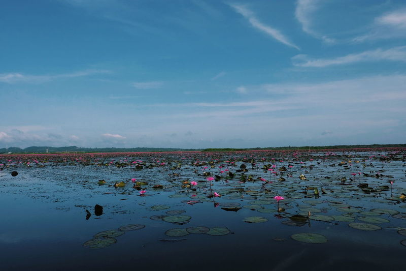 Lotus water lilly  in the lake at thale noi wetland ,phatthalung. thailand