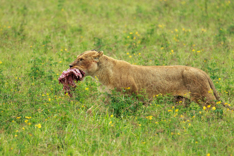 Lioness carrying meat walking on field