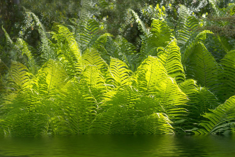 Beautiful ferns with green foliage green flower fern background in sunlight Farn Beauty In Nature Day Farne Fern Ferns Forest Growth Nature No People Outdoors Plant Tranquility Tree Water
