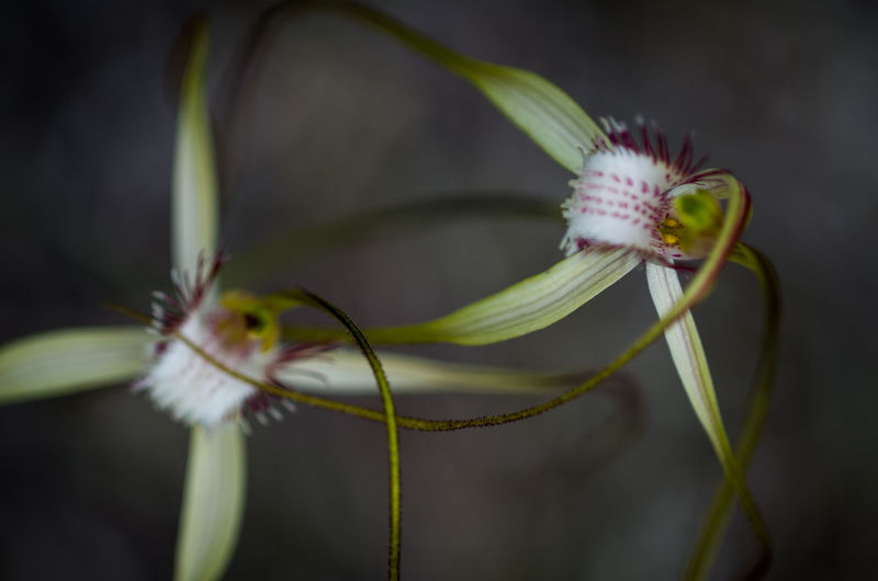 Beauty In Nature Close-up Day Flower Flower Head Fragility Freshness Growth Horizontal Nature No People One Animal Orchids Outdoors Plant Spider Orchid Springtime