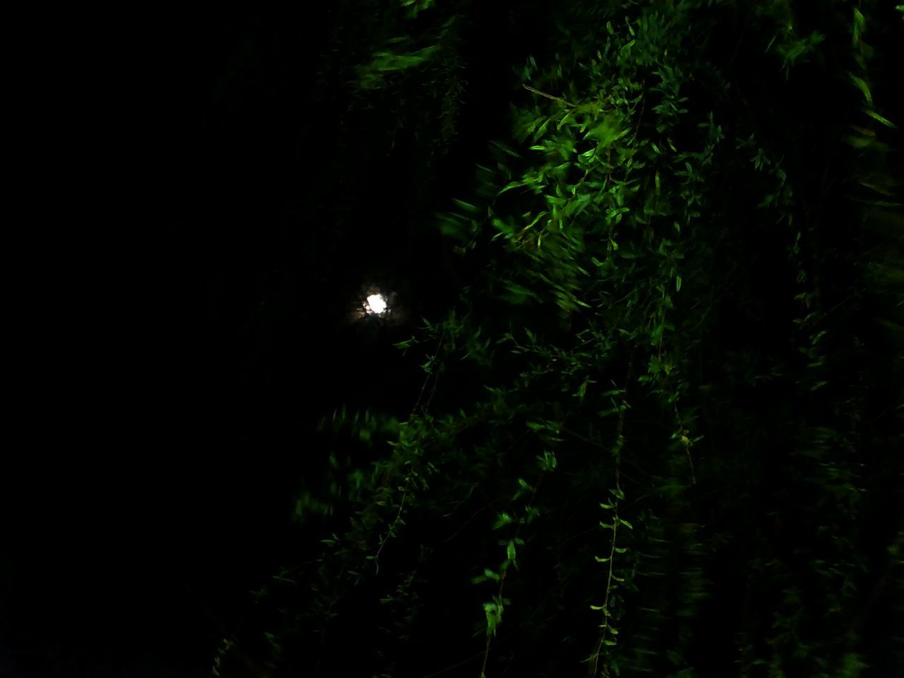 night, growth, nature, moon, beauty in nature, no people, forest, plant, tranquility, scenics, outdoors, tree
