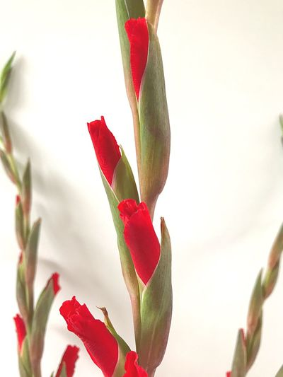 Composition Growth Red And Green Colours White Background Flower Fragility Freshness No People Structure Gladioli I'm Happy 😄😀😄😁 Beauty red gladioli against a white wall Simple Things In Life The Week On EyeEm