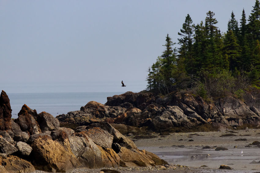 A bird flying over the water at low tide in Park of Bic, Rimouski, Quebec Animal Themes Animals In The Wild Beach Beauty In Nature Bird Clear Sky Day Horizon Over Water Mammal Nature No People One Animal Outdoors Rock - Object Scenics Sea Sky Tranquility Tree Water